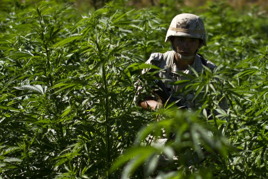 Mexican soldier in a Marijuana field